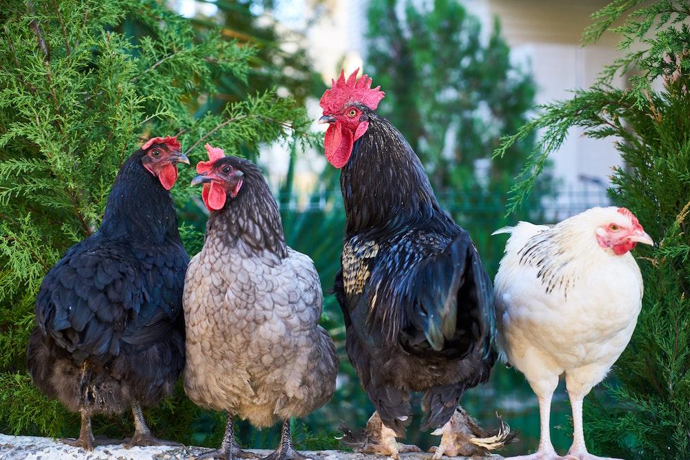 Kippen zijn gezelligheidsdieren