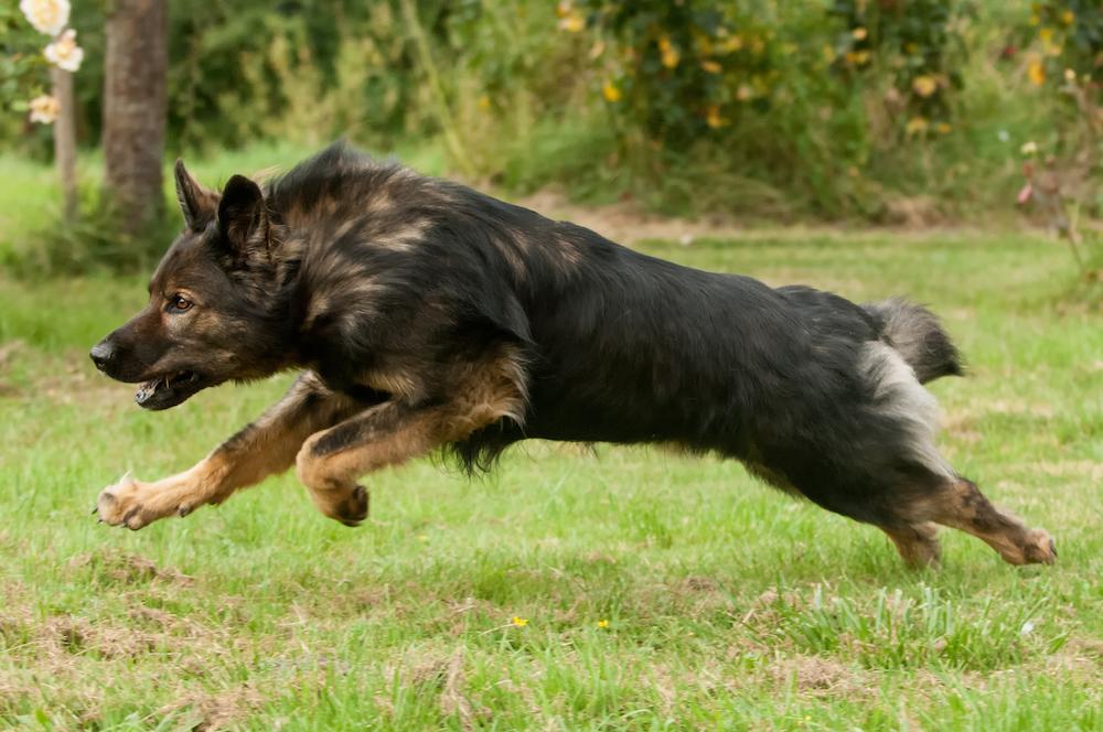 Voor een grote hond is hij al behoorlijk oud, zegt de dierenarts