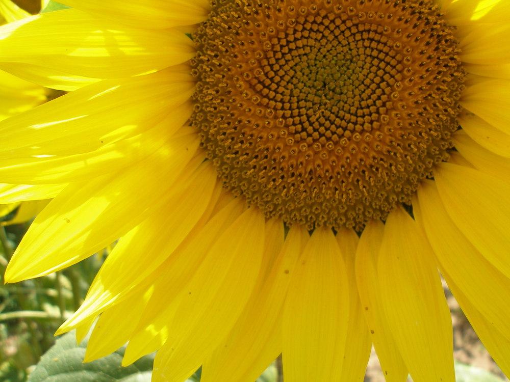 Hoe de zonnebloem diepgang en troost gaf bij een afscheid